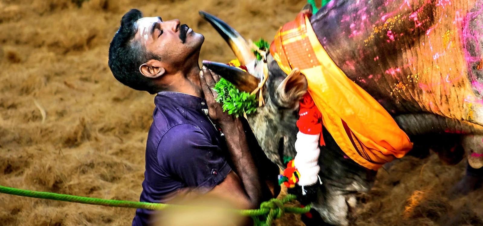 Jallikattu Bull brotherhood of tamils